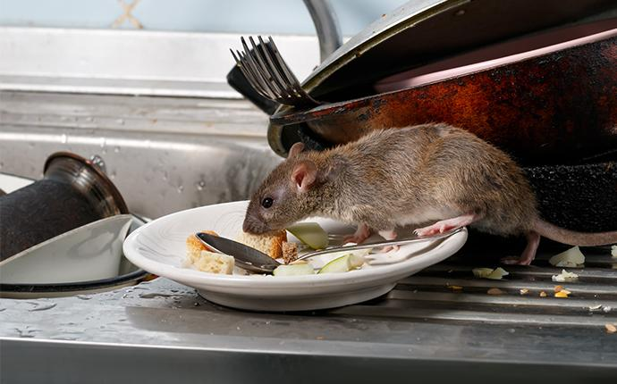 rat crawling on dishes