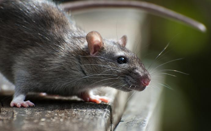 a rat on wood