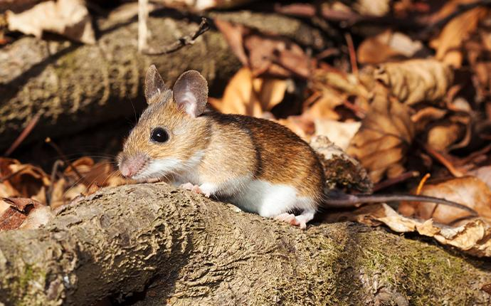 a white footed mouse on a branch