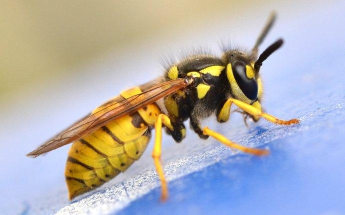 up close image of a yellow jacket outside a home