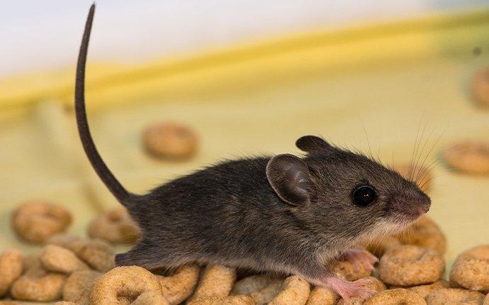 house mouse crawling on cereal in kirkland washington
