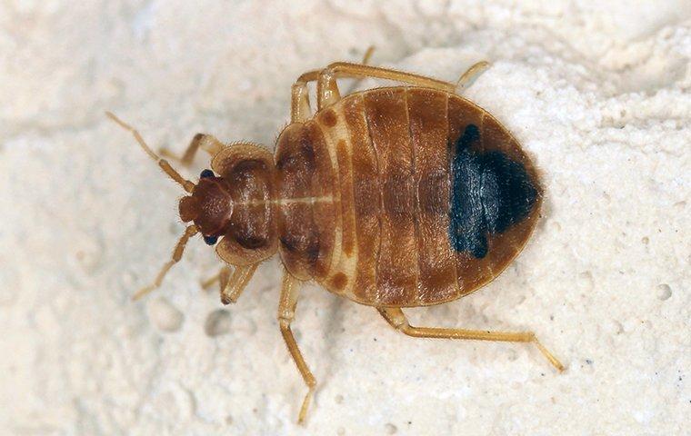 bed bug on white background