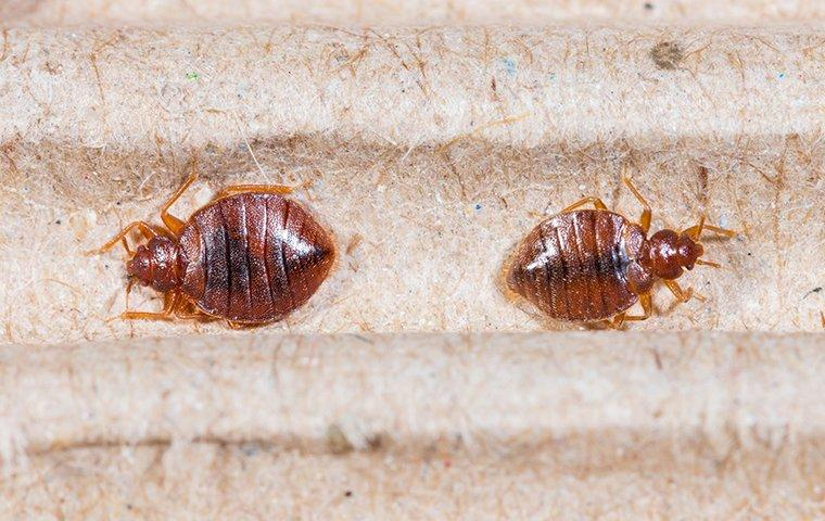 two bed bugs crawling on a bed in a home in washington dc