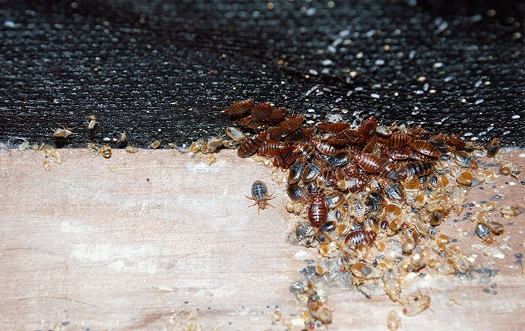 dozens of bed bugs crawling on a bed in washington dc