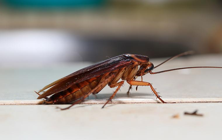 american cockroach on a kitchen counter in a washington dc home