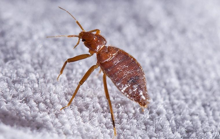 bed bug on a carpet in a chevy chase md home
