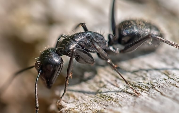 a carpenter ant infestation in a washington dc home