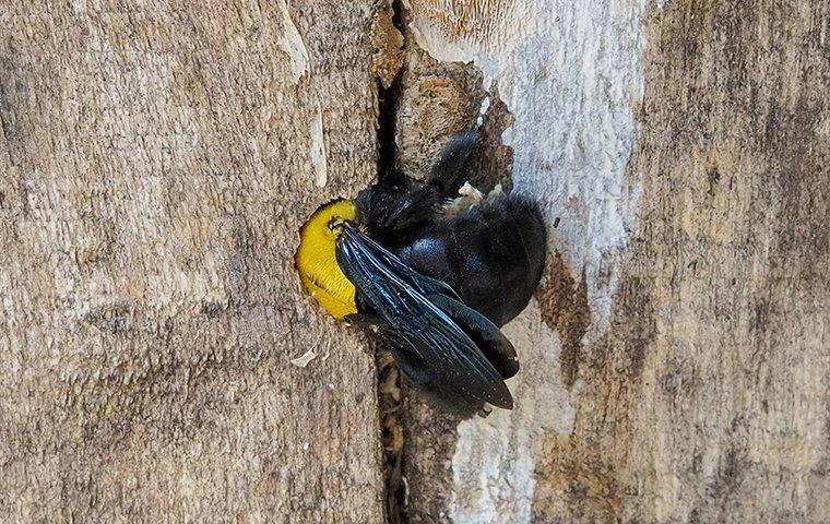 a carpenter bee making a nest in a fence