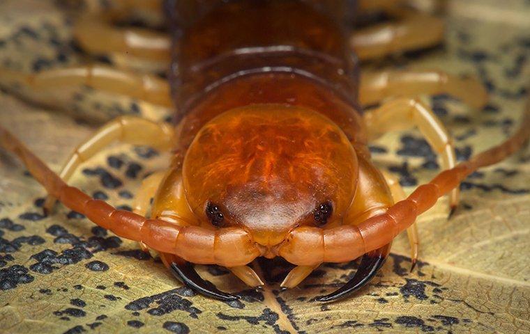 a Centipede crawling on leaf