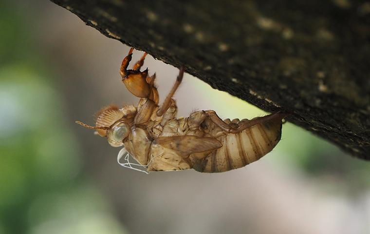 a cicada hanging from a tree