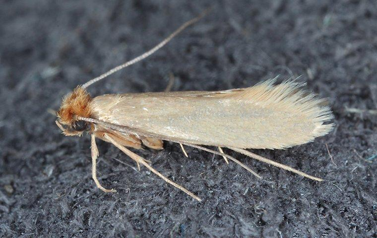 a clothing moth crawling on a sweater