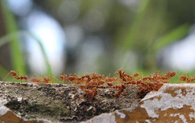 fire ants swarming a tree limb