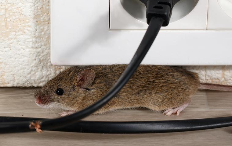 rodent chewing on wiring front of an electrical outlet in washington dc