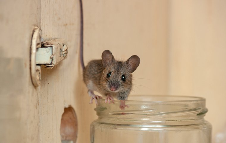mouse on a jar in a washington dc pantry