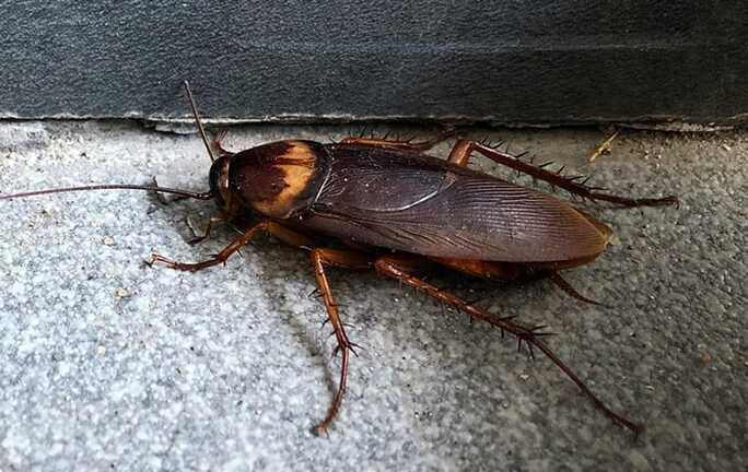 american cockroach in basement of a home