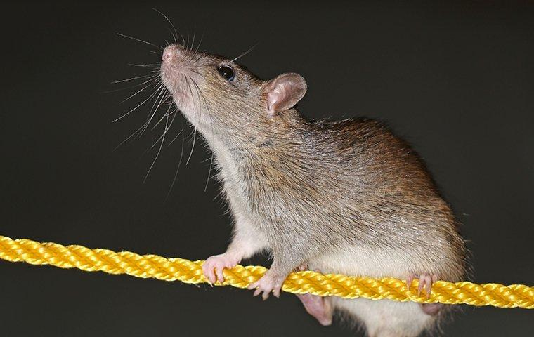 a rat climbing along a rope
