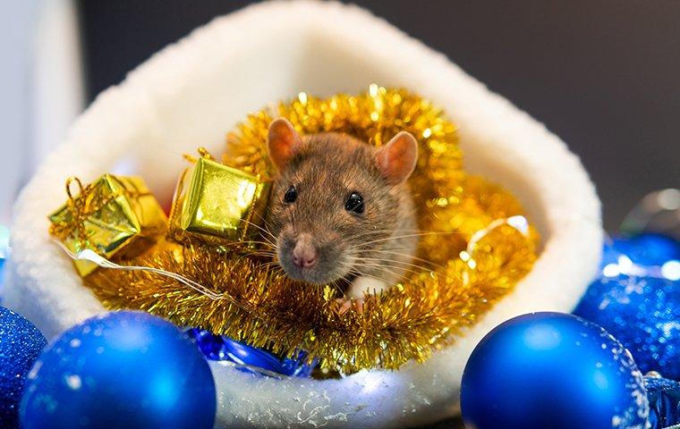 a house mouse infesting stored holiday decoration inside a washington dc home