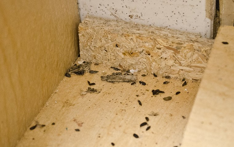 rodent droppings in the back of a kitchen cabinet in washington dc