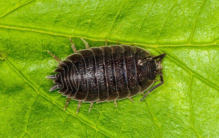 a sow bug on a house plant
