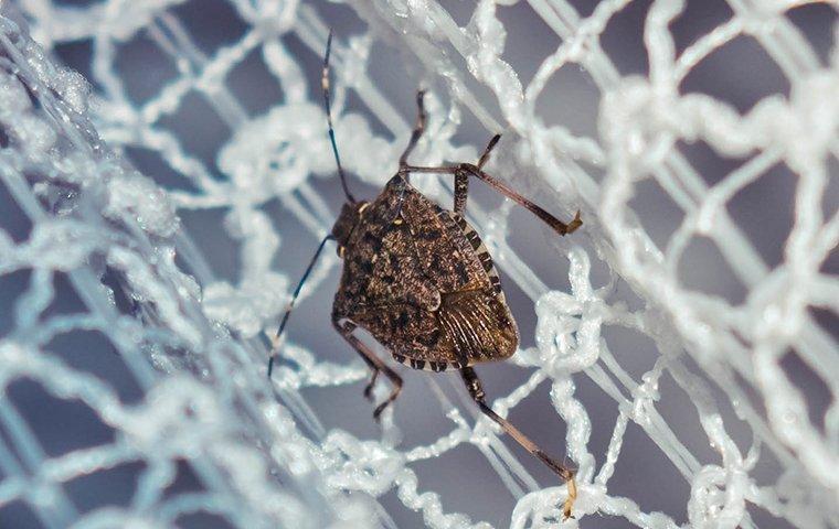 stink bug on white net