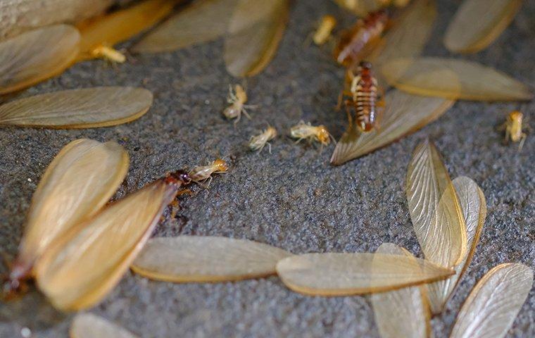 termite swarmers on rug