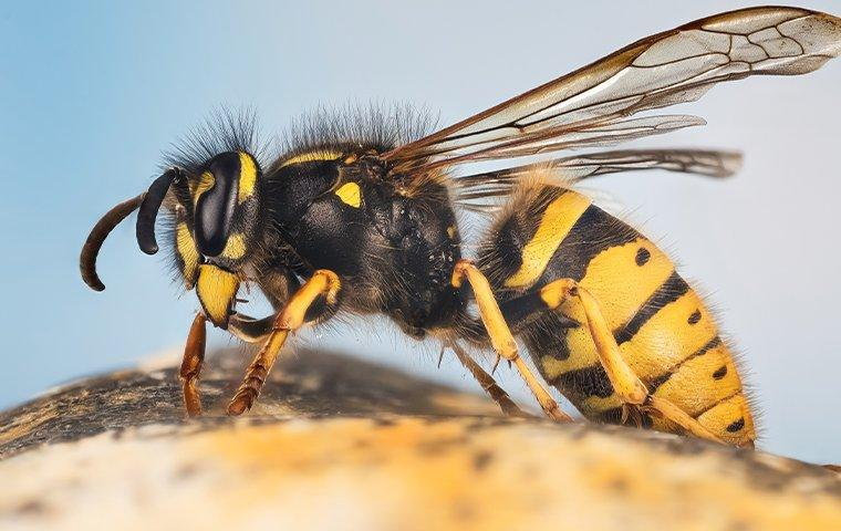 up close image of a yellow jacket that landed on a rock