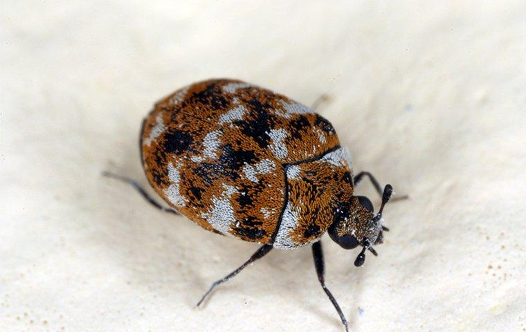 a carpet beetle in a bedroom in a home in montgomery county maryland