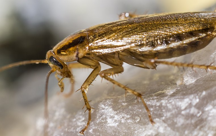 german cockroach on salt