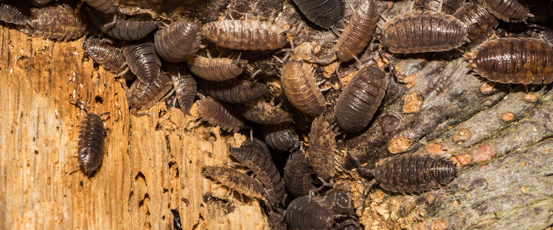 dozens of pill bugs outside of a home in washington dc