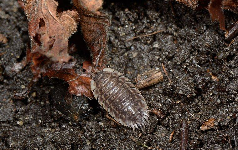 a pill bug on the ground outside of a home in washington dc