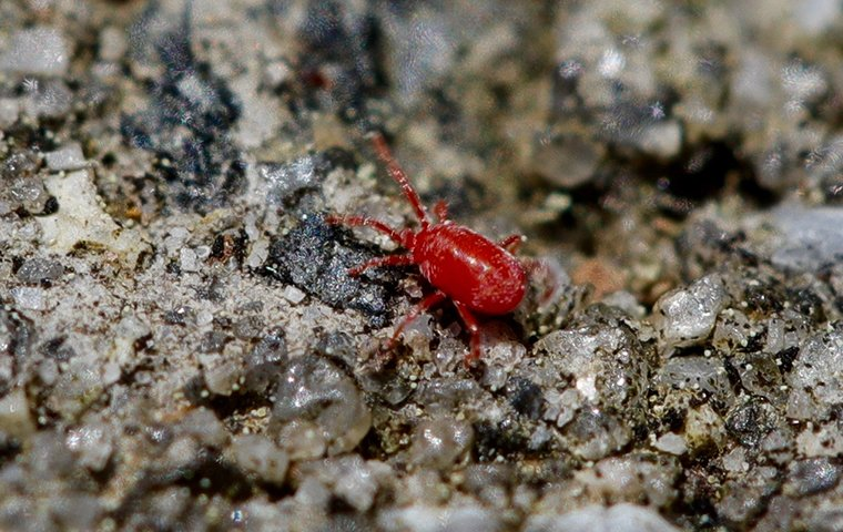 a clover mite crawling in the ground outside of a home in washington dc
