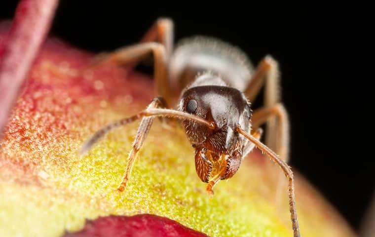 a pharaoh ant crawling on fruit
