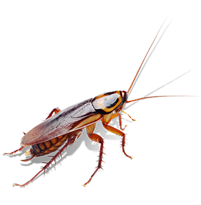 american cockroach in chevy chase maryland