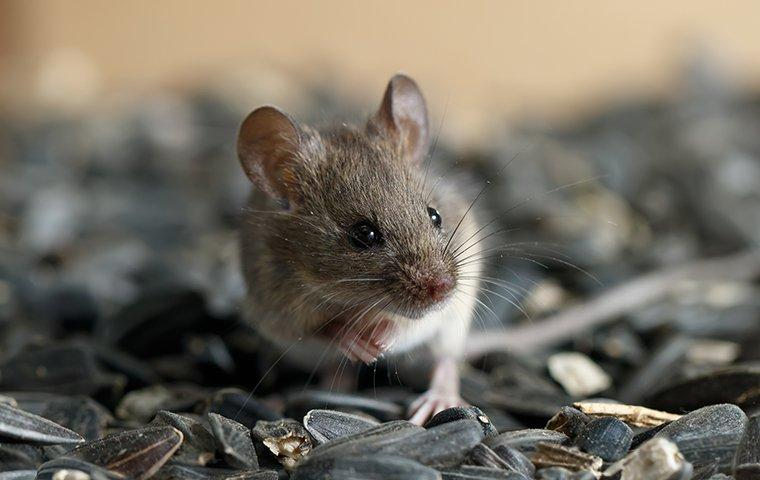a mouse in a bowl of sunflower seeds in a home in montgomery county maryland