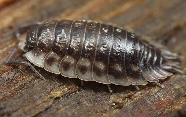 a sowbug crawling on a porch