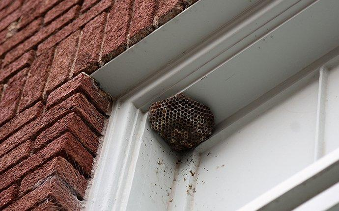 wasp nest built in the corner of an exterior window frame