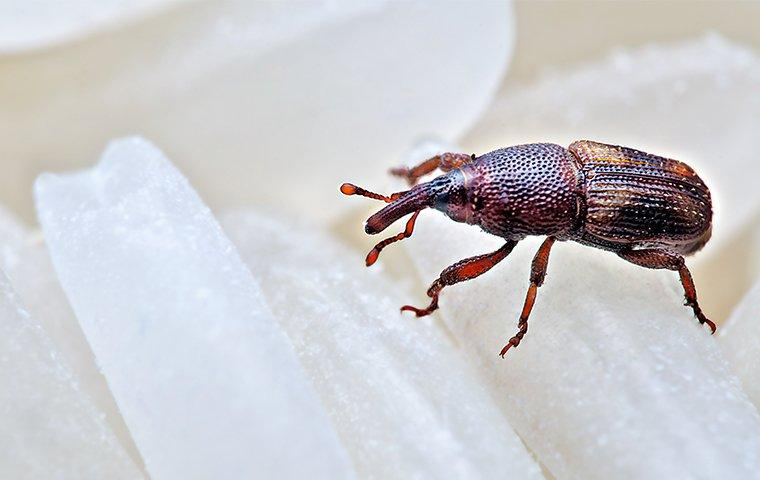 a weevil crawling on rice in a home in washington dc