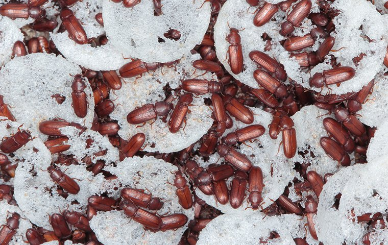 dozens of weevils crawling in rice at a home in washington dc