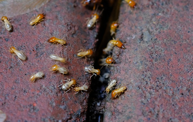 dozens of termites crawling on damaged wood at a home in washington dc