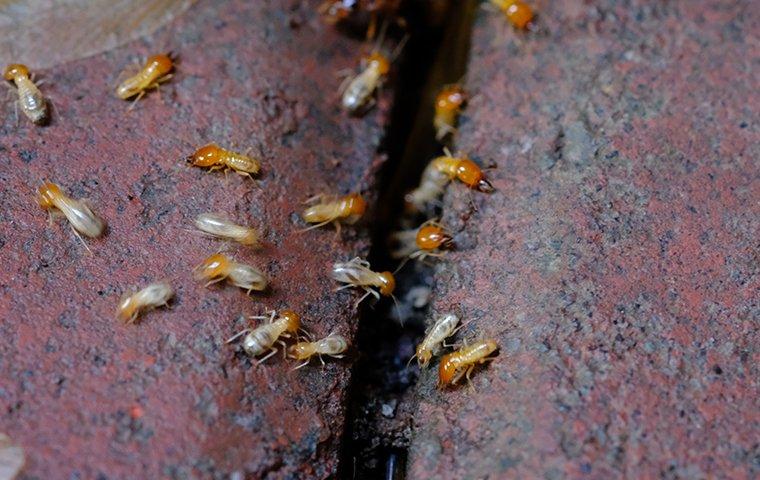 Termite Identification A Guide To Termite Control Prevention