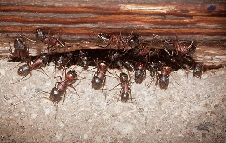 ants invading a new jersey home from under a door