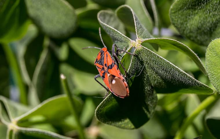 a boxelder bug resting on a leaf in hackensack new jersey