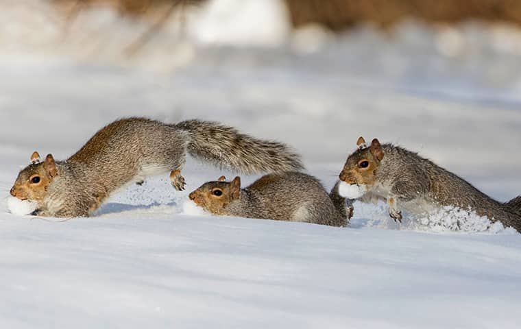 squirrels running through the snow during the winter in new jersey