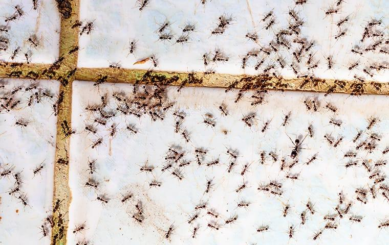 a very large colony of black ants crawling along the glass winder in a new jersy home