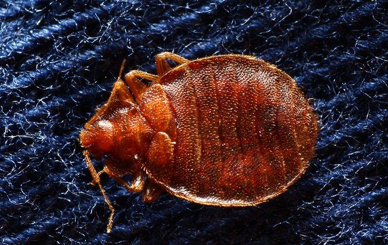 bed bugs crawling on a comforter