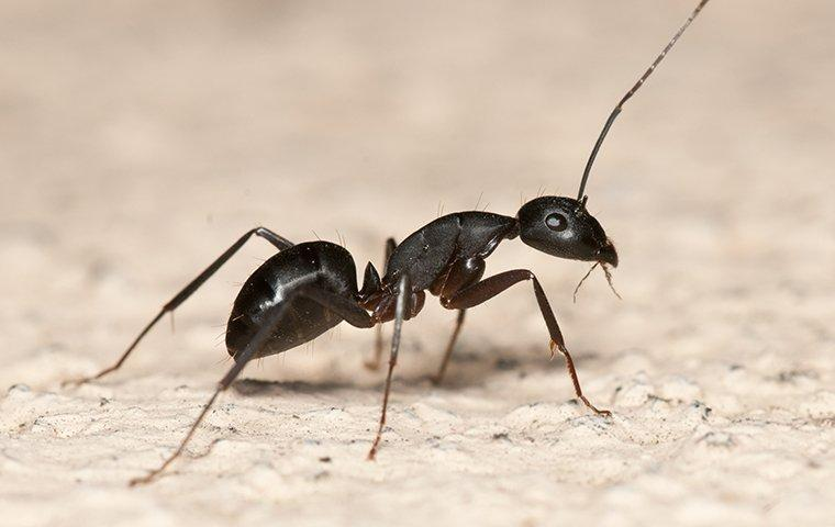 a carpenter ant walking in a garage