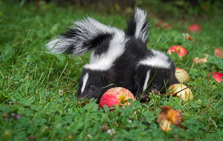 two skunks eating apples in a pompton lakes new jersey residential yard