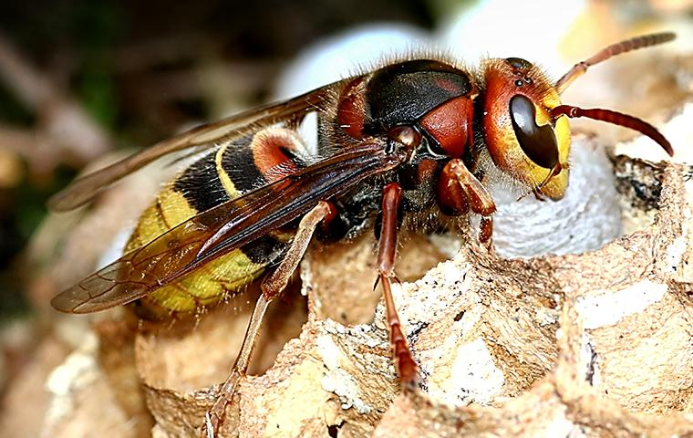a europian hornet sitting on its nest on a property in new jersyone hot summer day