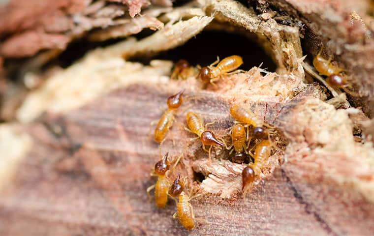 a termite infestation inside a pompton plains new jersey home