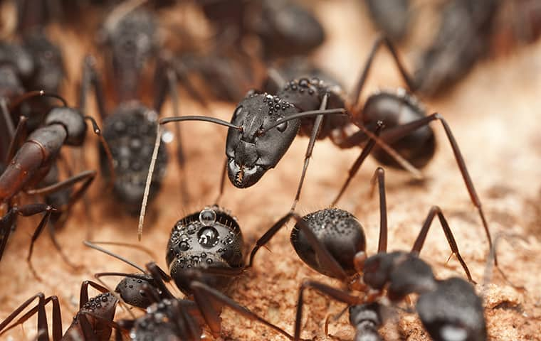 a swarm of carpenter ants inside of a new jersey home